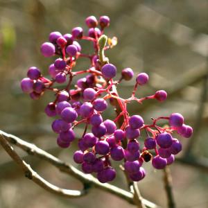 Purple Berries Quarry Hill 02_15_2016