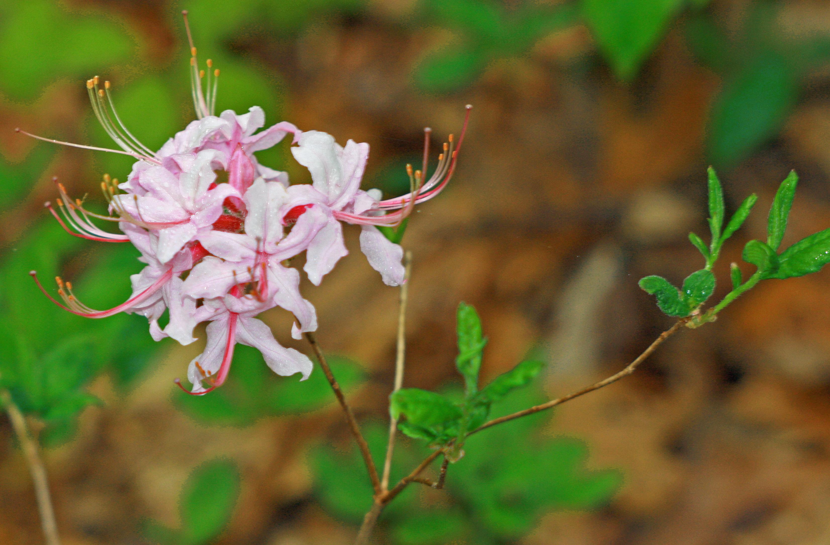 Azalea native White and Pink 2