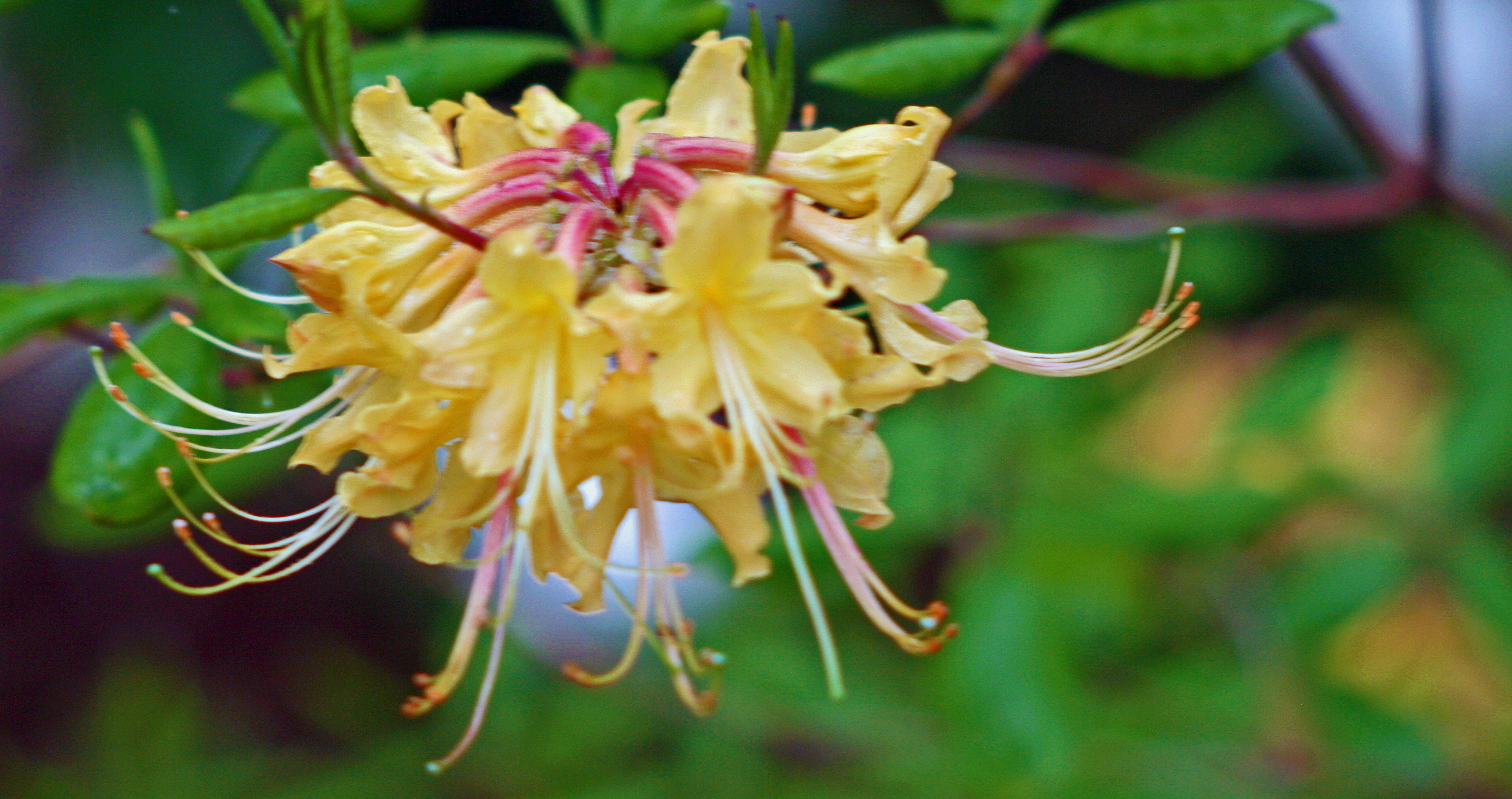 Azalea native Yellow 1